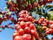 Embrapa Rondônia abre inscrições de clones e propriedades para a Rede de Avaliação de clones de café