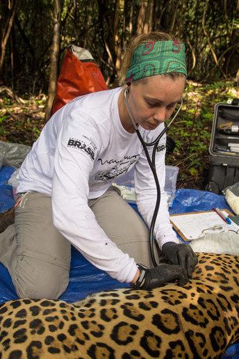 Pesquisadora Louise Maranhão (foto) faz análises em onça capturada - crédito Amanda Lelis
