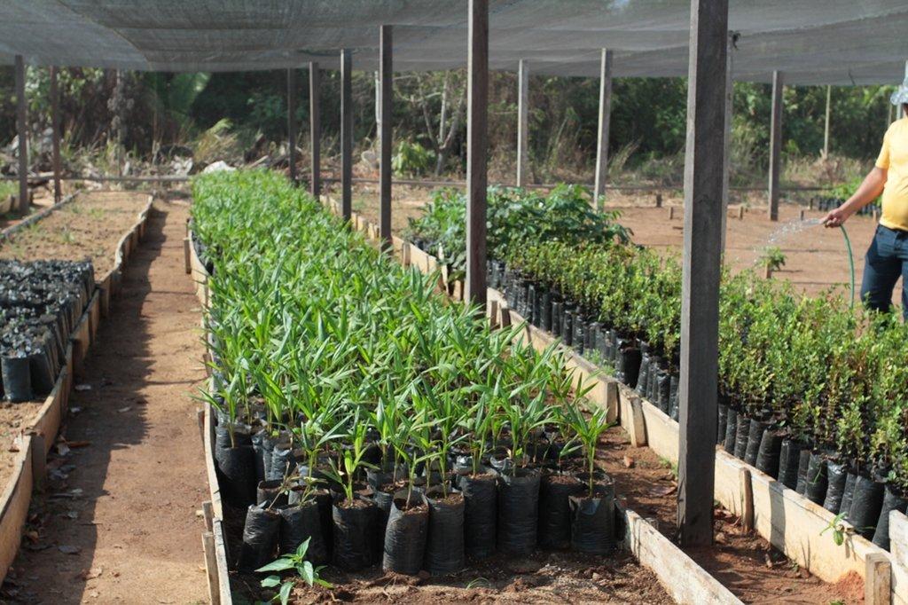 Viveiro de café clonal na Fazenda Futuro, em Porto Velho - Gente de Opinião