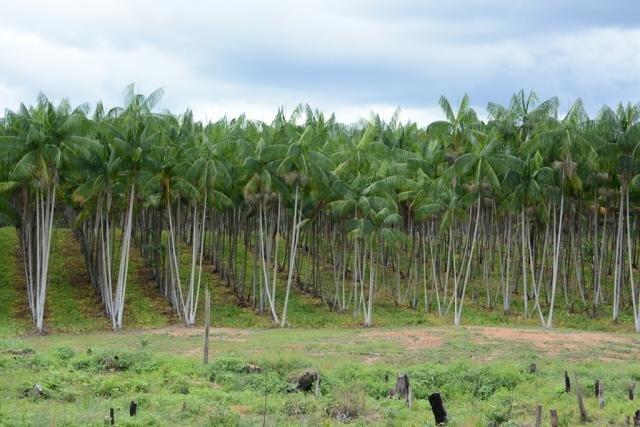Embrapa disponibiliza Sistema de Produção do Açaizeiro para Amazônia Ocidental - Gente de Opinião