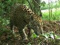 Pesquisadores iniciam campanha de captura científica de onças-pintadas em reserva na Amazônia