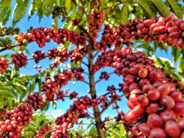 Embrapa: Programa pioneiro reúne pesquisa e setor produtivo no melhoramento de café na Amazônia - Gente de Opinião