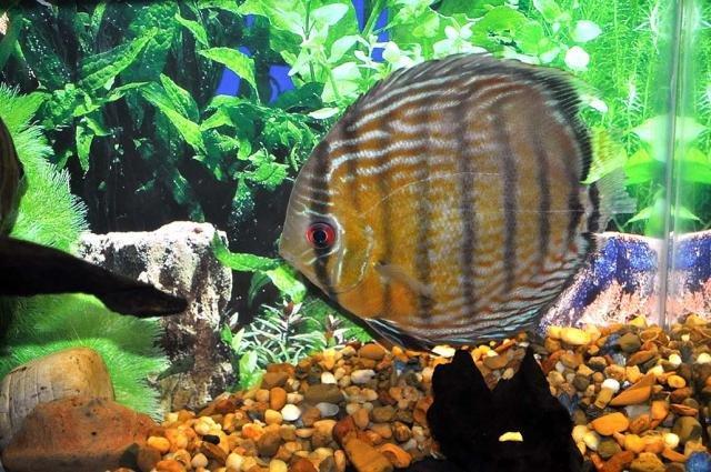 Acará-disco é uma das espécies de peixes ornamentais encontradas na Amazônia (Foto Jonas Oliveira) - Gente de Opinião