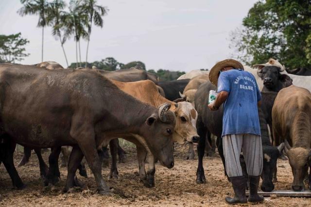 Criação de gado na Reserva de Desenvolvimento Sustentável Amanã, unidade de conservação localizada na Amazônia (Foto: Leonardo Lopes) - Gente de Opinião