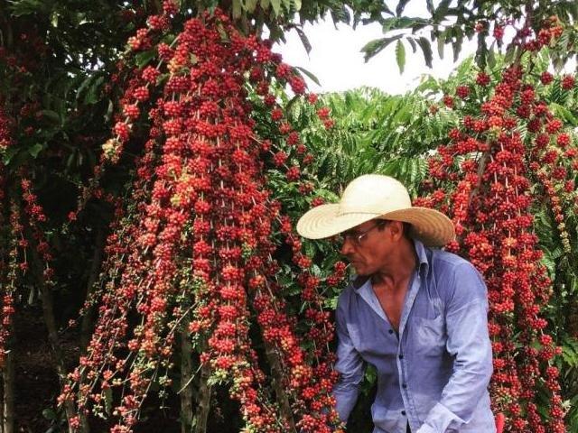 Rondônia realiza o maior concurso de café robusta do Brasil; premiação soma R$ 40 mil - Gente de Opinião