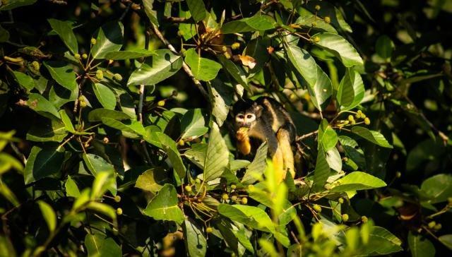 Primata tem a menor distribuição geográfica das Américas (Foto: Júlia de Freitas) - Gente de Opinião