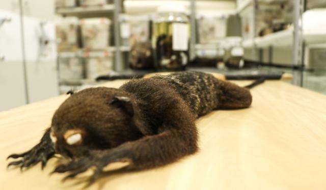 Nova espécie de macaco (foto) está em fase de descrição. (Foto Júlia de Freitas) - Gente de Opinião