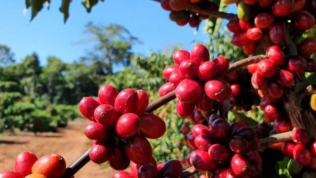 Terroir amazônico para cafés finos - Foto: Renata Silva - Gente de Opinião