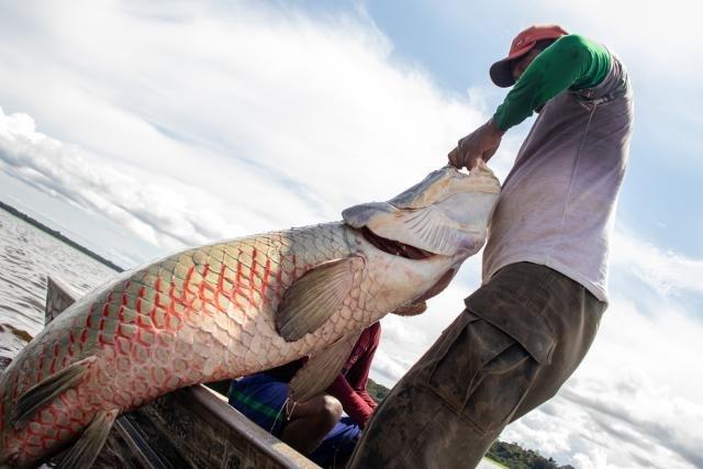 Manejo do pirarucu acontece na região do Médio Solimões, Amazônia Central, há mais de 20 anos (Foto: Bernardo Oliveira) - Gente de Opinião