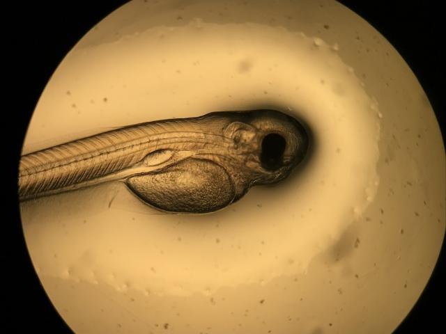 Curimbas nascem no Laboratório de Reprodução de Peixes da Hidrelétrica Santo Antônio - Gente de Opinião