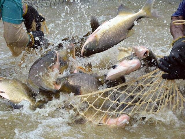 Tambaqui é o terceiro peixe mais exportado pelo Brasil - Gente de Opinião