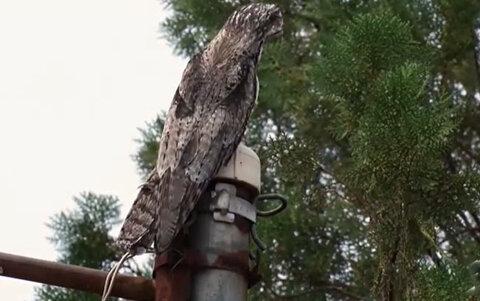 Urutau, pássaro raro da floresta, vira atração em Porto Velho