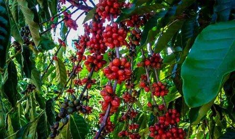 Café de Rondônia recebe nova certificação de qualidade; amostras analisadas estão dentro dos padrões legais