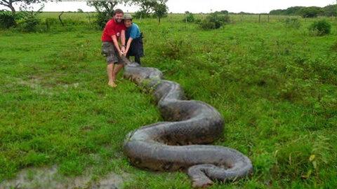 5 cobras gigantes capturadas parte 3
