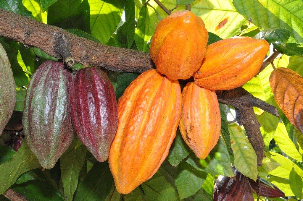 Sebrae e CocoaAction debatem a produção de Cacau em Rondônia - Gente de Opinião