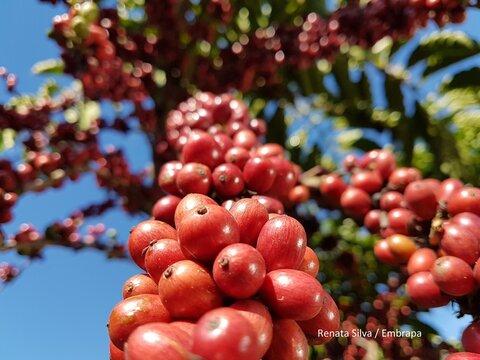 Embrapa, governo de Rondônia e produtores se unem em projeto de melhoramento para o café