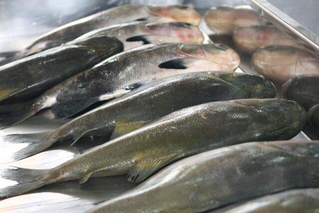 Peixes cultivados em cativeiros são mais seguros e possuem alto valor nutricional; o tambaqui é o mais procurado - Gente de Opinião