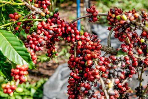 Governo de Rondônia abre colheita do café conilon com perspectiva de produção de 2 milhões de sacas para este ano