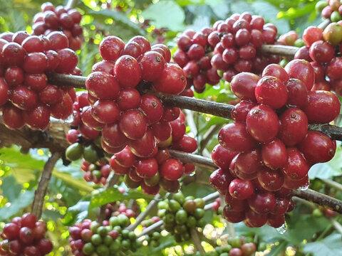 PAM: área destinada para cultivo de café diminui, mas produção aumenta