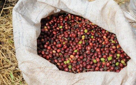 Rondônia se mantém no ranking nacional entre os maiores produtores de café do Brasil